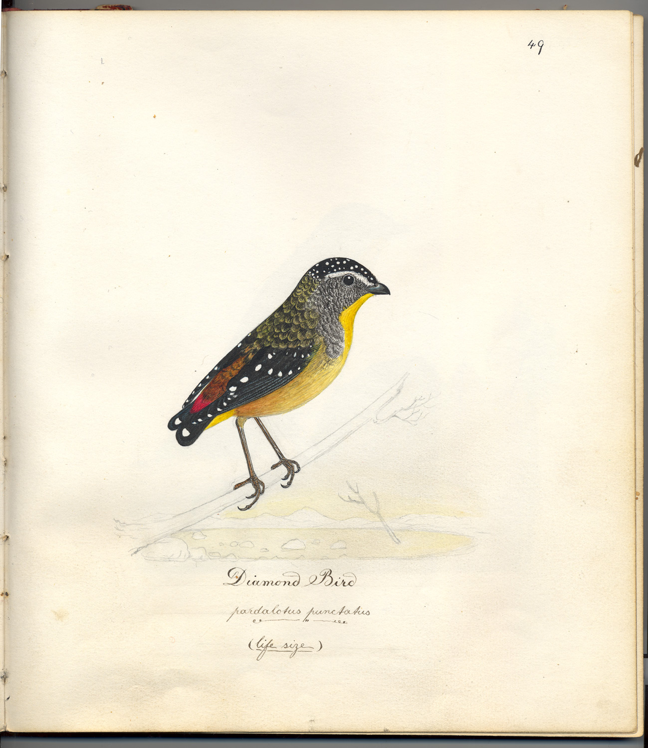 Bird paintings of a 'Diamond-bird (pardalotus punctatus)' by